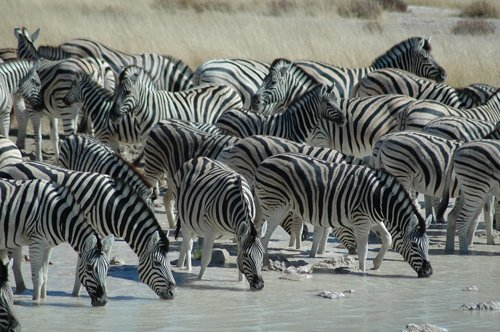 Dazzle-of-zebras-drinking