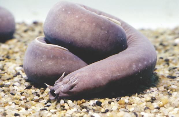 Pacific Hagfish.