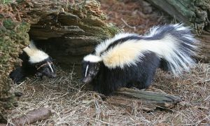 1200px-Striped_Skunk
