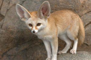 fennec_fox_0
