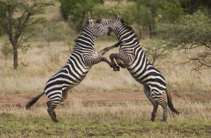 fighting_zebra__s_by_renemarcel27