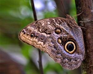 giant-owl_-_caligo-atreus_anne_belmont