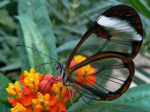 Glass_wing_or_clear_wing_butterfly_Wallpaper_h6675