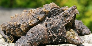 reptile_alligator-snapping-turtle_600x300