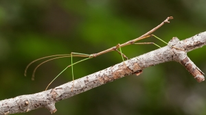 stick-insect-branch.ngsversion.1499025907151