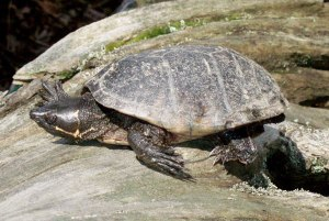 Stinkpot-Turtle-Pictures