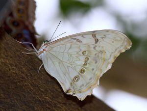 WhiteMorpho03