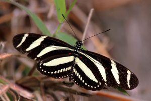 Zebra_heliconian_longwing_(Heliconius_charithonia_simulator)