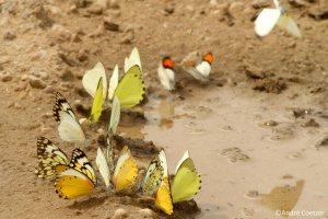 201-03-20-butterflies-mudpuddling-3