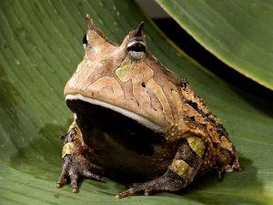 amazon-horned-frog_443_600x450