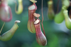 Carnivorous-pitcher-plants-are-only-part-time-killers