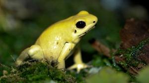 Golden_Poison_dart_frog_Phyllobates_terribilis