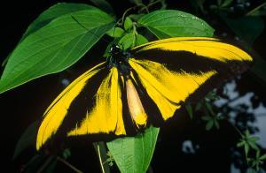 goliath-birdwing-butterfly-male-irian-konrad-wothe