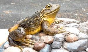 Goliath_frog