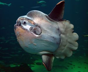 1200px-Sunfish2
