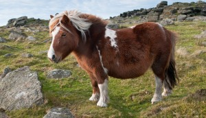 Dartmoor-Pony