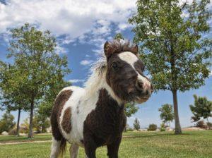 mini-horse-foal-854x640