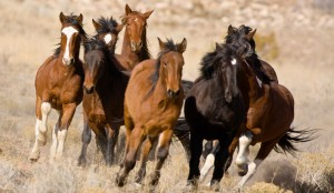 wildhorsesfree