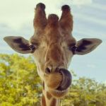 A-Giraffe-can-clean-its-ears-with-its-tongue