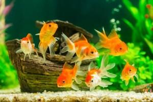 goldfish_l3
