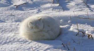 arctic-fox-j-lyle-dpc