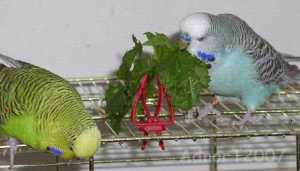 bird-budgie-50g-seeds-grow-your-own-fresh-food-free-post-3333-p