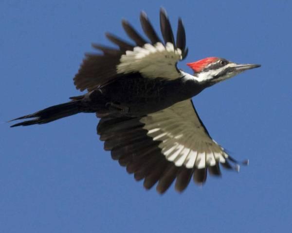 Pileated_Woodpecker_s72-9-011_l_1