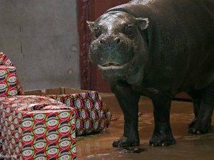 okc_zoo_hippo_francesca_2_credit_gillian_lang-1513112373-9439