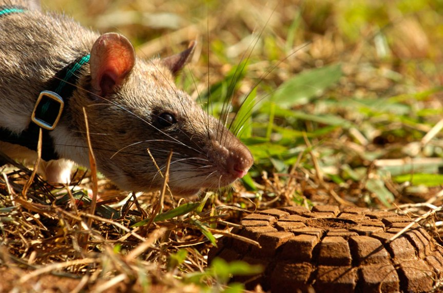 34hero-rats-bomb-demining-africa-apopo-38