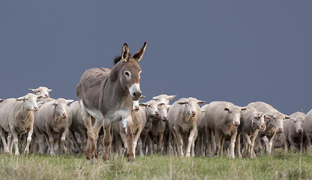 guard-donkey_istock-thinkstock