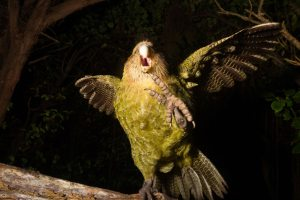 kakapo_recovery-206_10