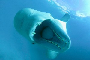 Beluga whale, White sea, Russia, Kareliya