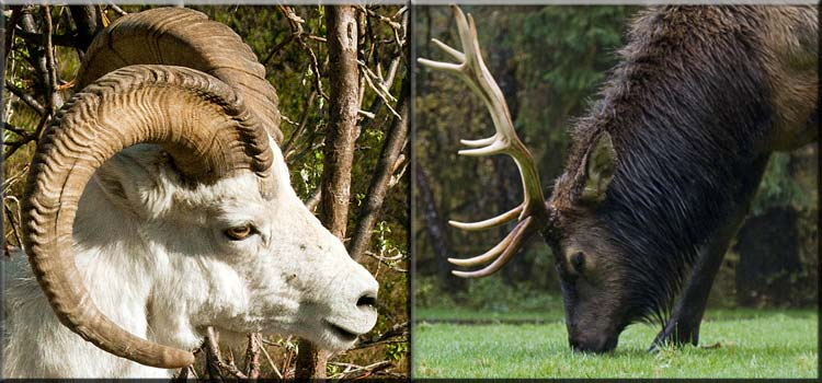 difference-between-antlers-and-horns-f