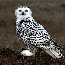 220px-Snowy_Owl_Barrow_Alaska