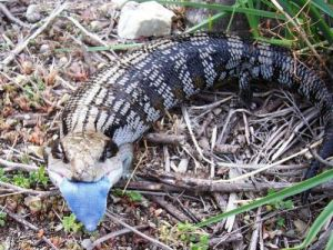 Blue-tongued Lizard hm