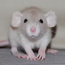 e9b4da8a20d6cf5e6e09226dbd8a7d42--dumbo-rat-fancy-rat