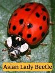 ladybug-v-alb (2)