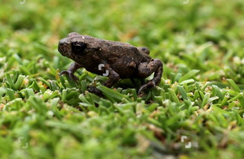 Plague of tiny young grass frogs take over Greenwood Course at East Horton Golf Club, Hampshire, Britain - 01 Aug 2012
