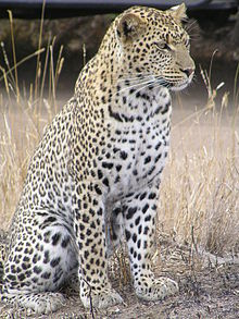 220px-Leopard_africa