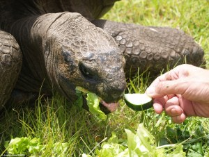 2FDFF5A500000578-3388423-Dinner_time_Jonathan_the_tortoise_now_enjoys_a_diet_of_high_calo-m-55_1452165959551