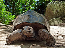 Aldabrachelys_gigantea