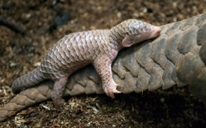 baby-pangolin-facts-7-580f448309faa__700