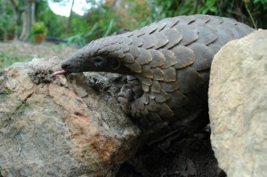 pangolin-feeding