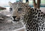 0114arabianleopard568