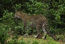220px-Sri-lankan-leopard-yala-casey-klebba