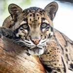 clounded-leopard-feature
