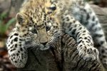 gsmp-amur-leopard-cub-wz-1024x684