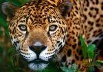 North-Chinese-Leopard-Facts-China-Panther