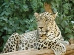 Persian_Leopard_sitting