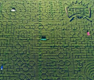 california-cool-patch-pumpkins-corn-maze